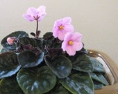 African violet Hot Pink Bells LEAVES for propagation