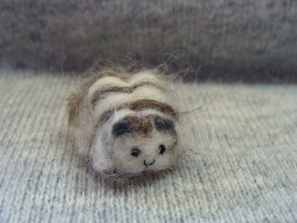 curly long haired guinea pig.  long haired texel guinea pig by