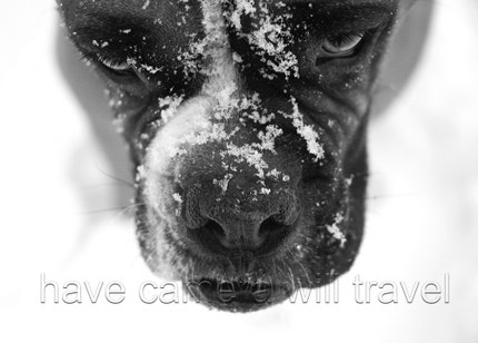 Snow Nosed Boxer