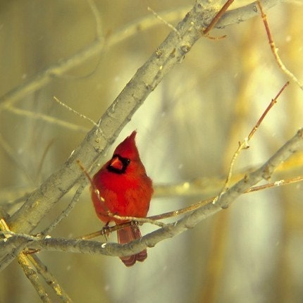 Cardinal in winter, a fine art bird photography print(8x8) BOGO SALE