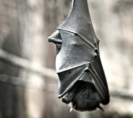 Nocturnal 8x12 Print -  Fruit Bat