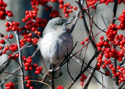 Mockingbird Photo by Cat Ludwig