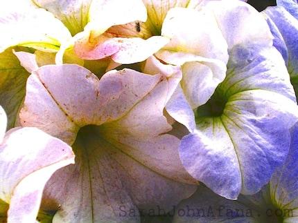 Blooming Petunias-Photograph
