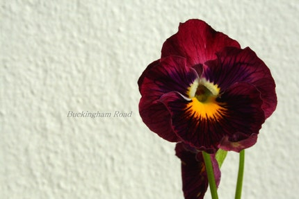 Pansy 'Burgundy on White' Photograph (Original)