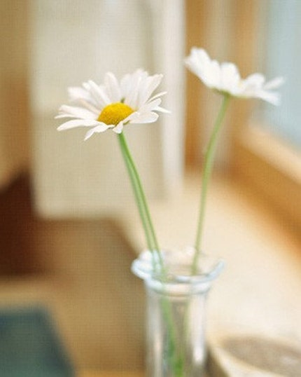Daisy Morning - Original Fine Art Photograph