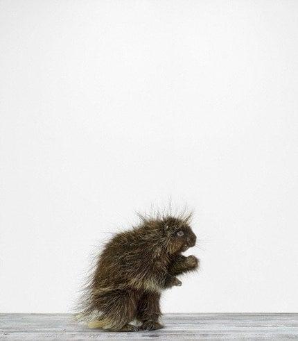 Porcupine, 7 x 8 Fine Art Print