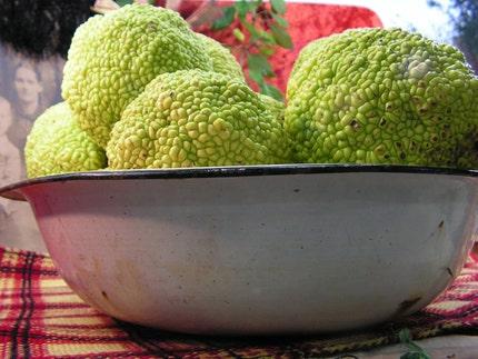 Vintage White Enamel Basin - Osage Apple Hedge Balls - Chartreuse Home Decor