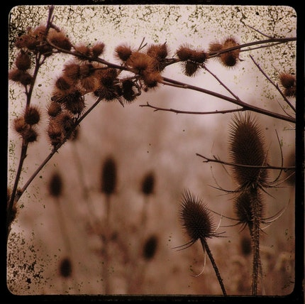 Thistles at Dusk- 8x8 Fine Art Photograph Print