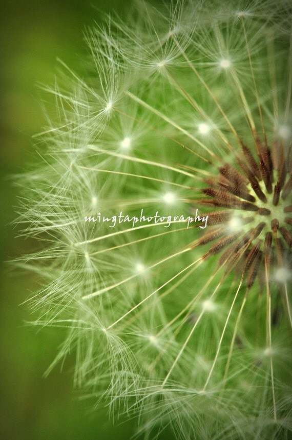 A Dandelion Clock - Dandelion Seeds Original Fine Art Photograph Print 5 x 7