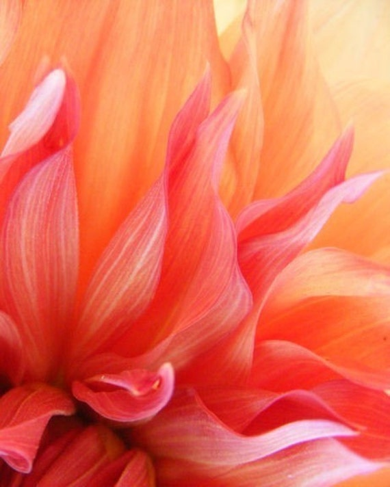 Flames - 8x10 Fine Art Nature Photograph - Abstract Dahlia Closeup - IN STOCK