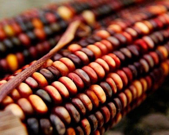 Indian Corn - Fall Harvest Time (11x14) Fine Art Nature Photography Print by Shannon Leigh Studios On Etsy