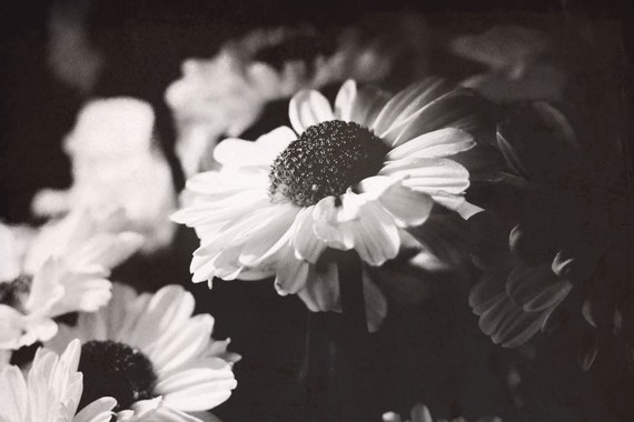 Daisies // 8x12 Original Fine Art Nature Photograph // daisies flowers spring black and white