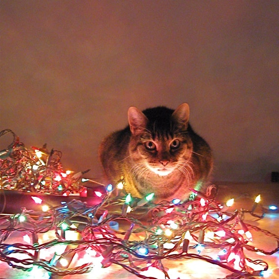 Xmas Cat Lights. Art Photograph Metallic Print includes Clear Frame