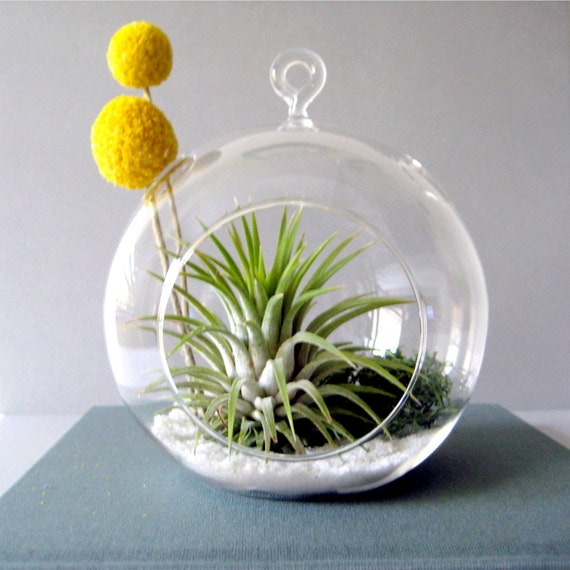 Tillandsia and Billy Buttons Part 2