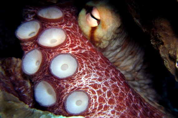 Octopus Art Nautical Home Decor 4x6 Underwater Photograph