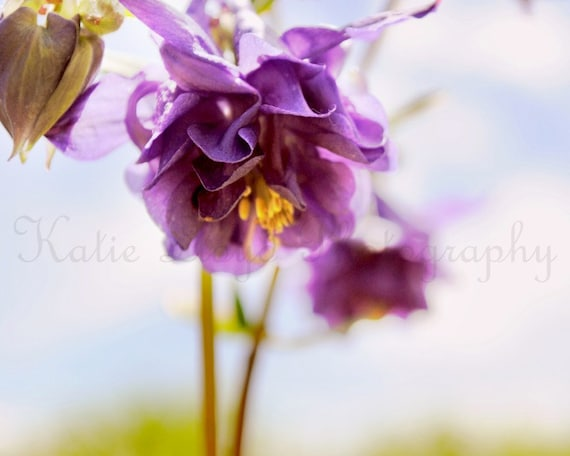 Pretty in Purple - 16x20 Fine Art Flower Photography Print - Feminine Columbine Bloom Home Decor Photo