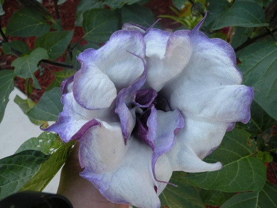 Datura Metel. PIF (Pay it Forward) Organic dark purple double layer frilly . 15 seeds. Includes waterproof seed marker.