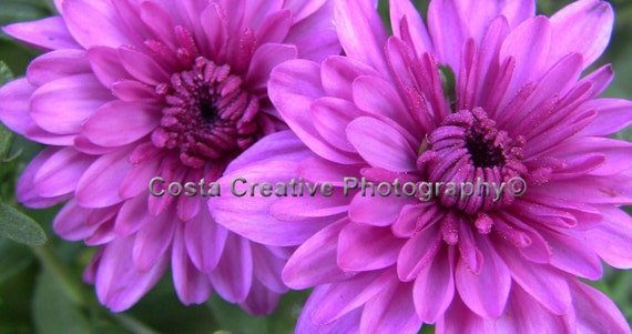 8 x 10 Fine Art Print - Purple Flowers