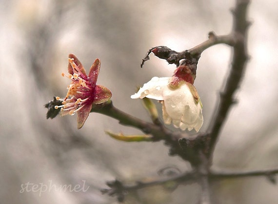 Spring blossoms, 8x6 original signed fine art photograph, springtime series
