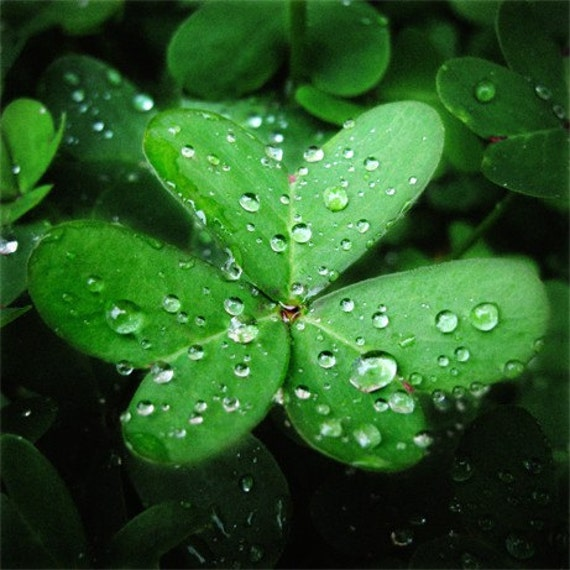 LUCKY Jewels - St. Patricks Day BOGO SALE - Soft rain decorates these two stunning macro shamrock images. Vibrant heart-wrenching green scattered with silvery baubles sent from above. Two Fine Art Photographic Prints, 10x10.