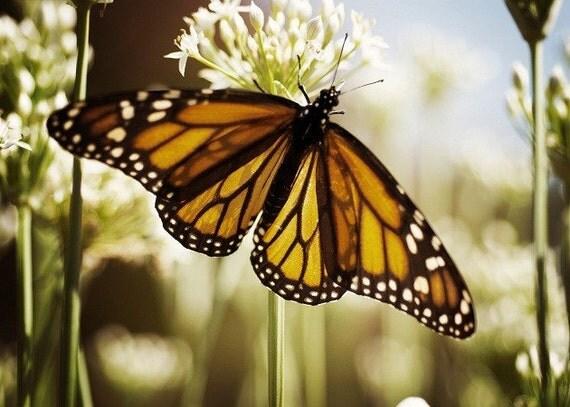 Single Ruler 5x7 fine art photo monarch beautiful nature photograph 30% Off Sale