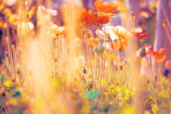 i am alice. poppies photograph - colorful spring flowers - blooms - rainbow - garden - original fine art print 16x20 metallic