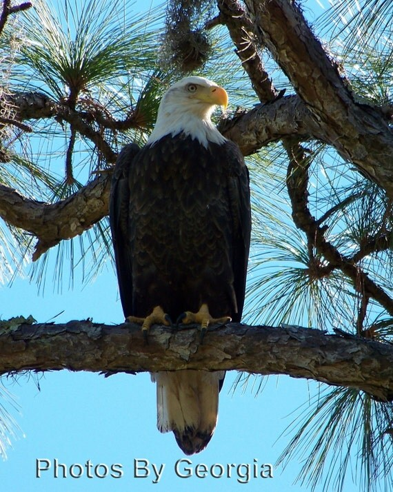 Bald Eagle - 11x14 Print