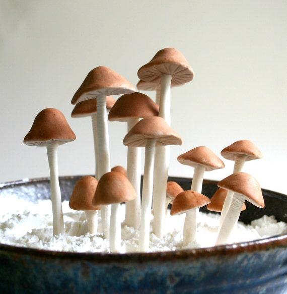 Съедобные грибы Сахар рода Psilocybe Cubensis 25 ассорти