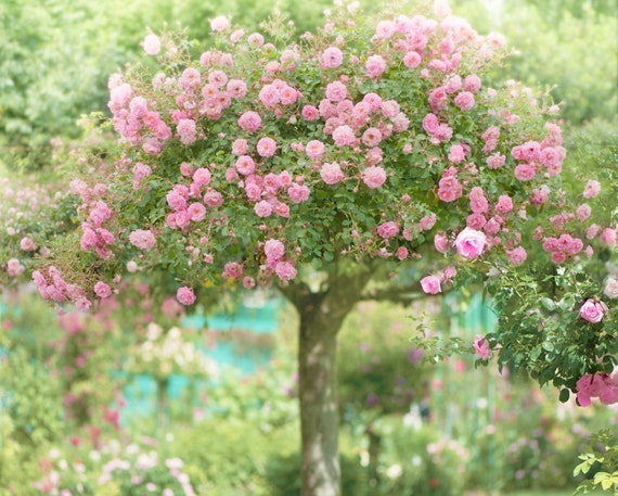 The Rose Tree, Giverny, Romantic Floral Vintage Style Fine Art Photograph, Monet's Garden, Giverny, France