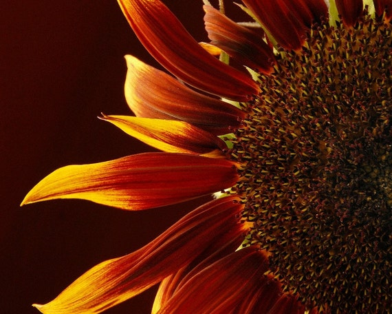 Sunflower Photo 11' x 14'' , Summer's colors