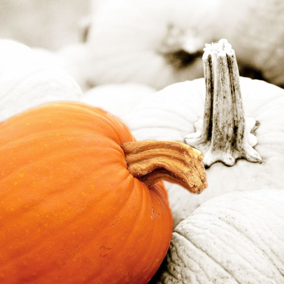 Fine Art Photograph October Pumpkins Orange White by Catherine Jeltes as galleryzooart on Etsy