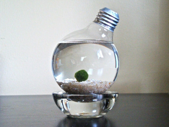 Marimo Moss Ball in a Repurposed Light Bulb (Lightbulb Aquarium)