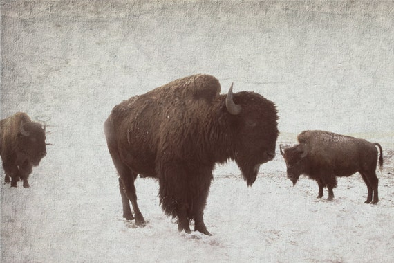 Bison Buffalo Art  for Him Animal Art Rustic Decor Buffalo in the Snow 8x12 fine art photography