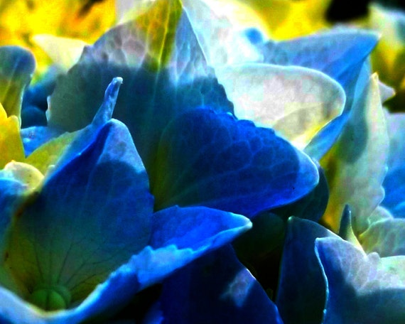 Hydrangea 5 x 7 Photo Art Vivid Color Blues Yellows Creams Flowers Gardening