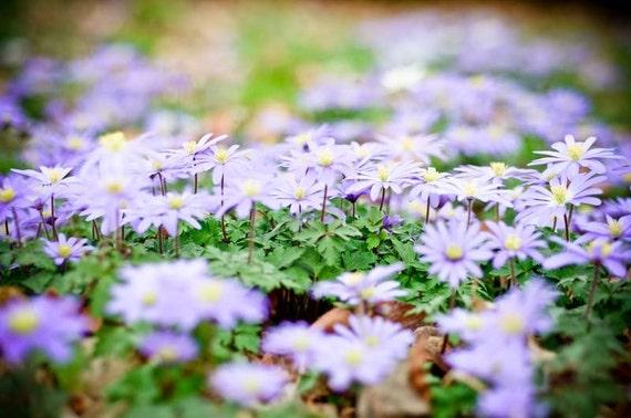 Зачарованные весной.  пастельных синего цветов печати.  мечтательная фотография цветка.  Питомник искусства.  коттедж шикарный декор дома.  фотографии природы