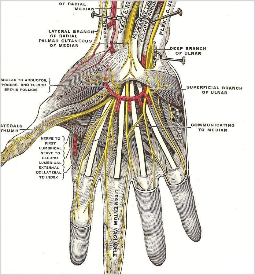 Anatomy of hand nerves