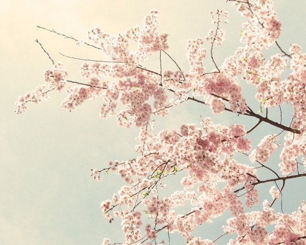 The Softest Sky - 8x10 Pink Cherry Blossoms Photo Print
