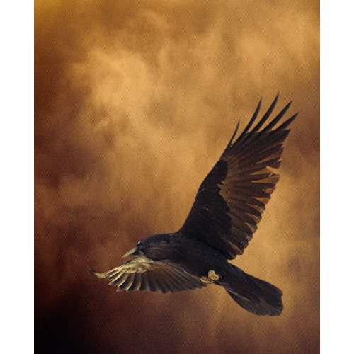 Raven in flight on golden background.