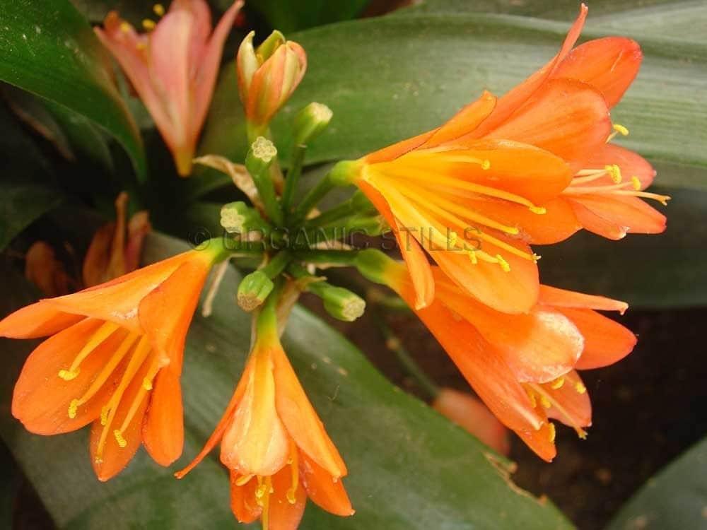 Orange Burst