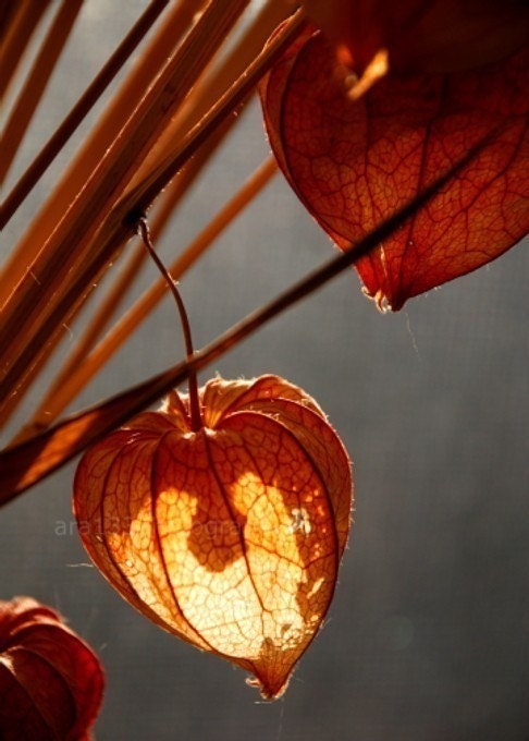 chinese lantern plants highlighted in the bright winter sunlight