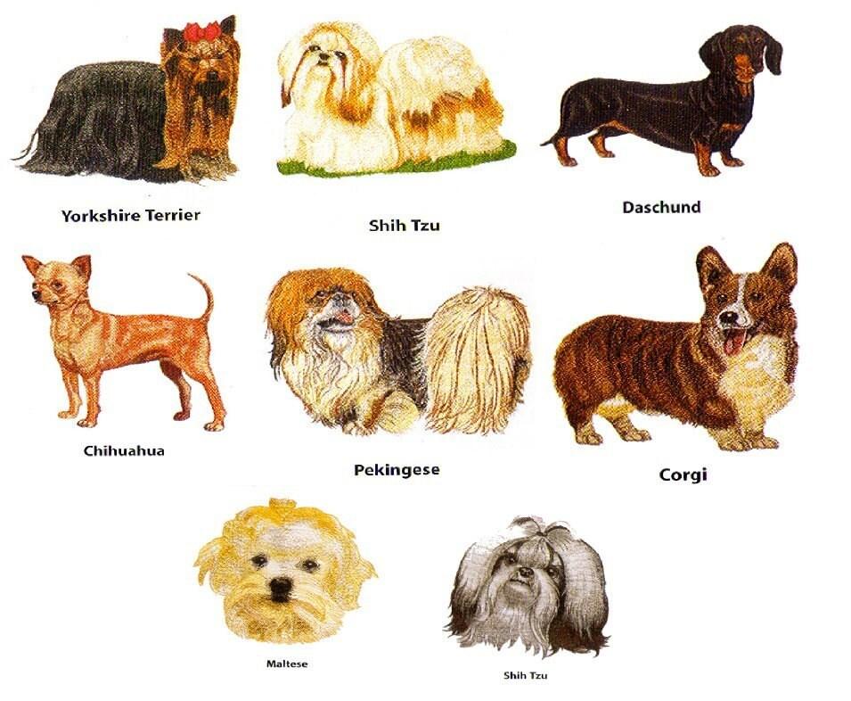 Maltipoo+puppies+for+sale+in+ohio